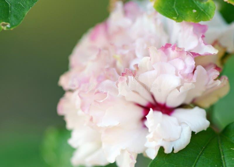 木槿Mutabilis桃红色软的镶褶边的花背景 库存图片