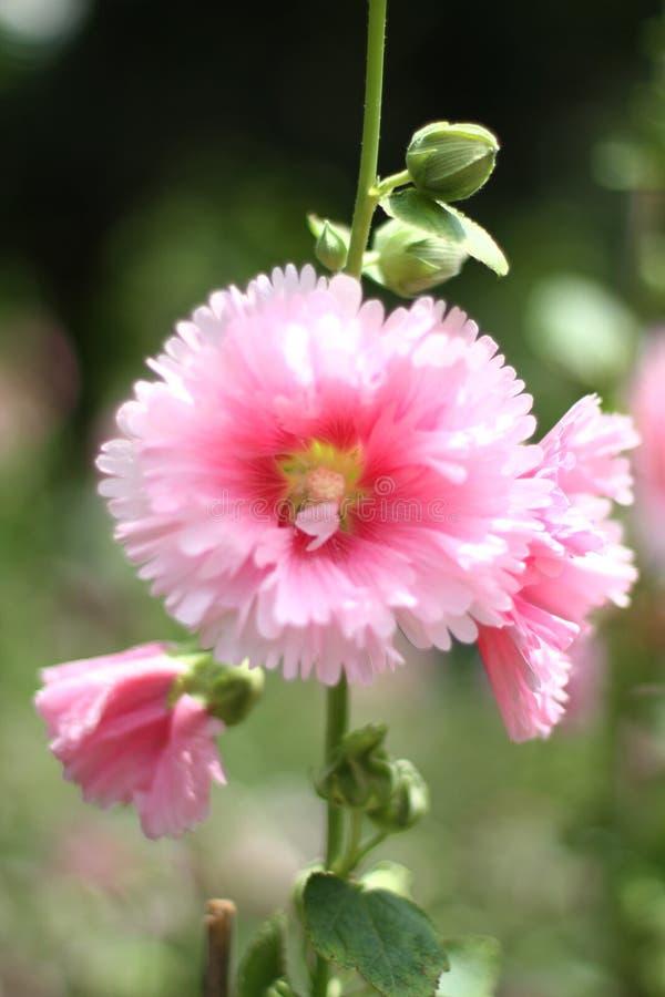木槿mutabilis花在公园天时间的 免版税图库摄影