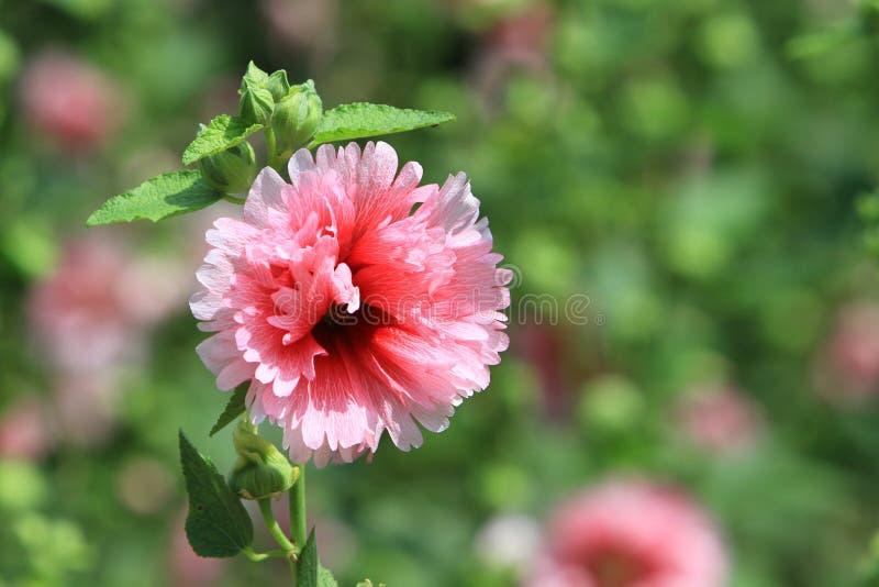木槿mutabilis花在公园天时间的 库存照片