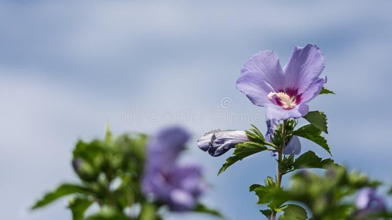 木槿syriacus或叙利亚ketmia紫罗兰色花  库存照片