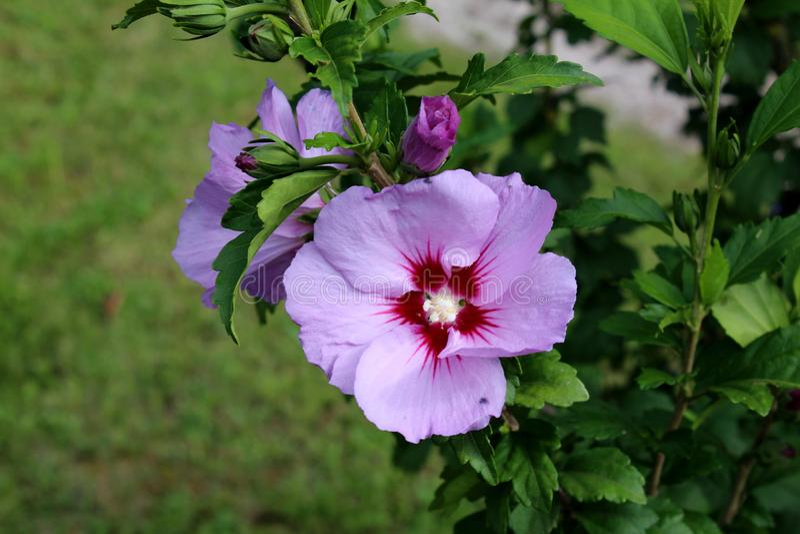木槿syriacus或沙仑的玫瑰花有开花的开花植物紫罗兰色和深红喇叭塑造了花 库存图片