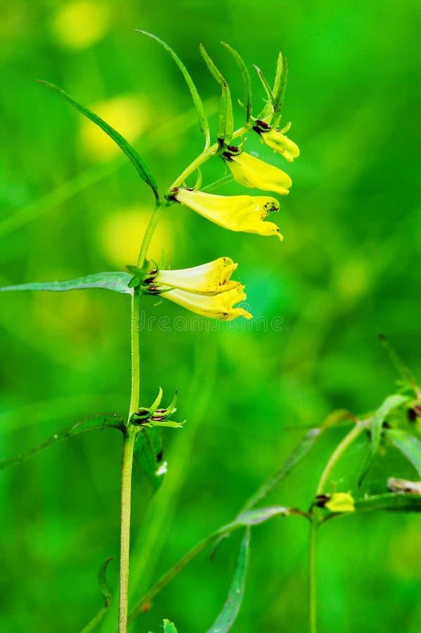 木母牛麦子, Melampyrum与花卉生长的nemorosum词根在森林地 黄色野花开花在夏天温带林里 免版税图库摄影