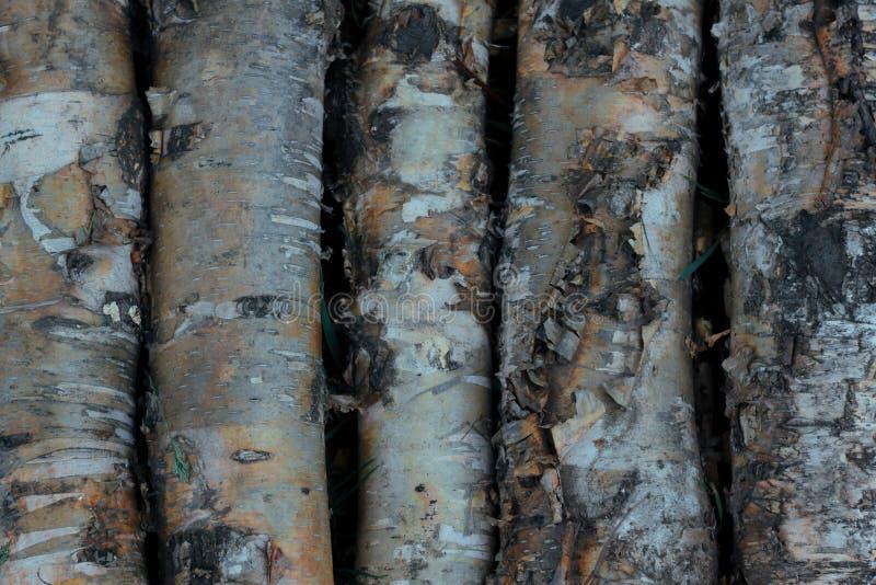 木纹理桦树 背景桦树吠声 开帐单的 图库摄影