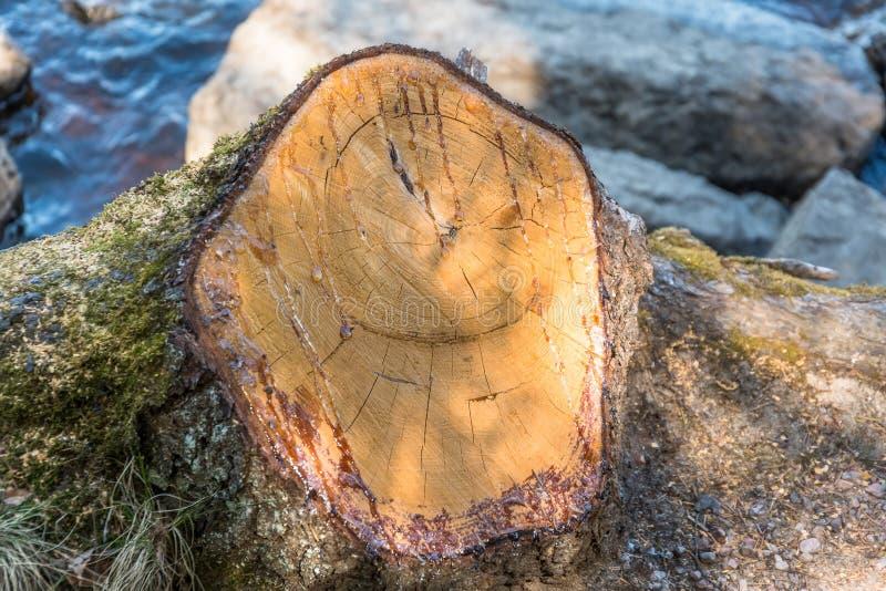 木纹理,与沥青的年轮,日志,从上面锯了木看法 与树脂的杉树背景的被锯的末端下降 图库摄影