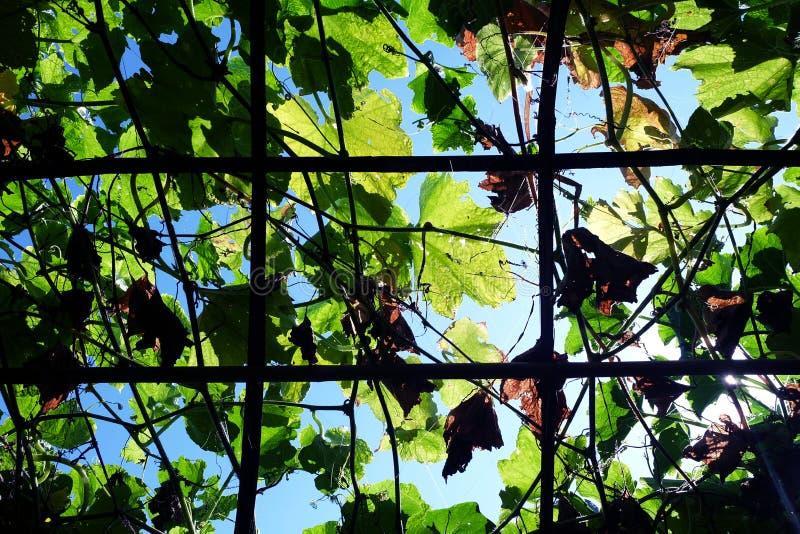 木结构栅格常春藤或爬行物植物的,看法 免版税图库摄影