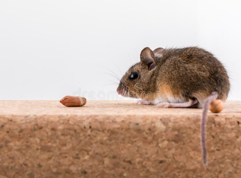 木老鼠的侧视图,姬鼠属sylvaticus,坐黄柏砖有轻的背景,嗅有些花生.图片