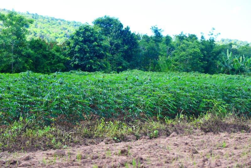 木薯种植园用在分支树的绿色叶子木薯在esculenta农业领域的亚洲人/的木薯 免版税库存图片