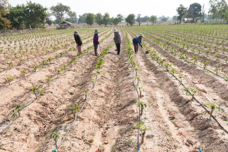 木薯,木薯粉 生长与水滴灌溉syst的珍珠粉领域 免版税库存照片