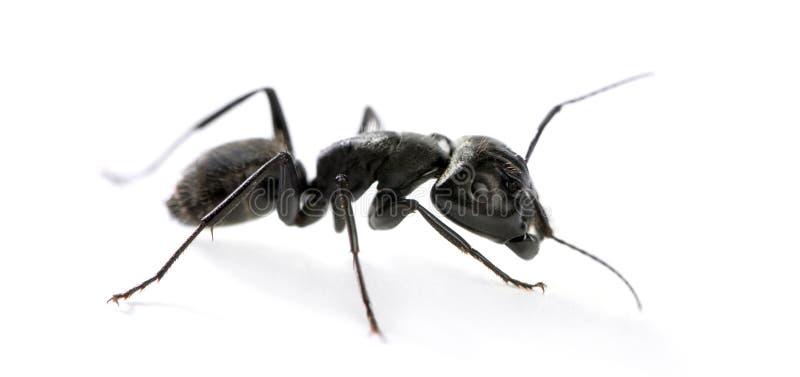 木蚂蚁, Camponotus迷走神经 免版税库存照片