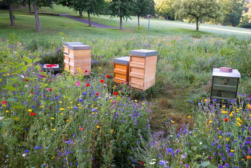 木蜂在野花的领域分群 免版税库存照片