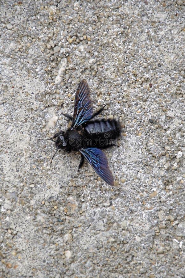 木蜂巴尔加是木蜂的种类共同对:西部,中央和欧洲南部/美丽的昆虫w 免版税库存图片