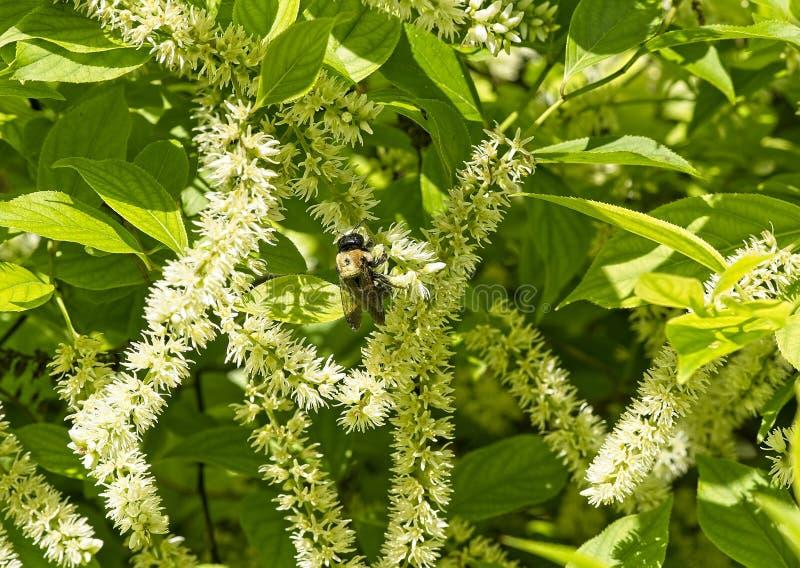 木蜂特写镜头在蝴蝶灌木丛的 免版税库存照片