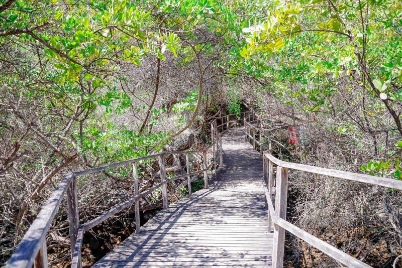 木道路美好的室外看法接近美洲红树的在圣克里斯托瓦尔海岛,加拉帕戈斯群岛上 库存图片