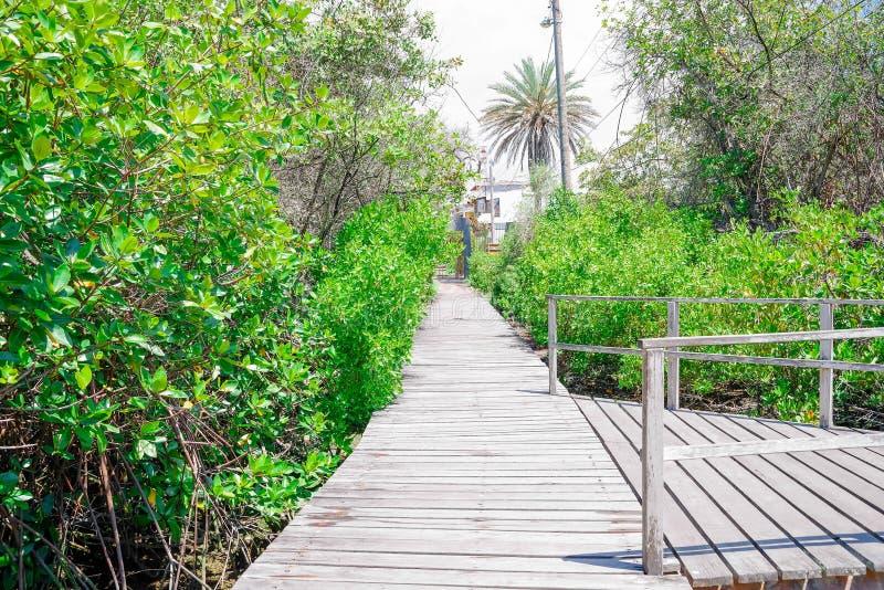 木道路美好的室外看法接近美洲红树的在圣克里斯托瓦尔海岛,加拉帕戈斯群岛上 免版税库存照片