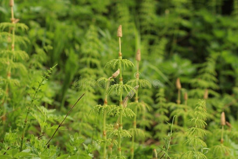木马尾木贼属植物sylvaticum 一个微型森林 免版税图库摄影