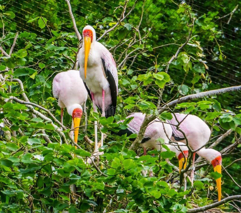 木鹳家庭在他们的巢的在树,从非洲的热带鸟硬币 库存图片