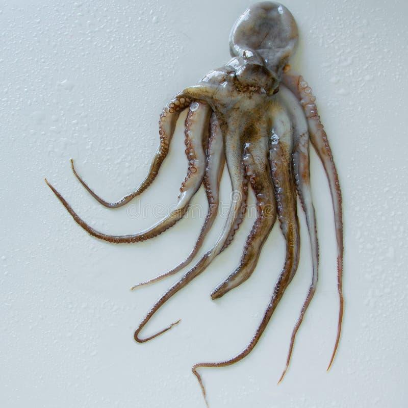 未加工的新鲜的章鱼顶视图在白色背景的 典型的地中海蛋白质食物 免版税库存照片