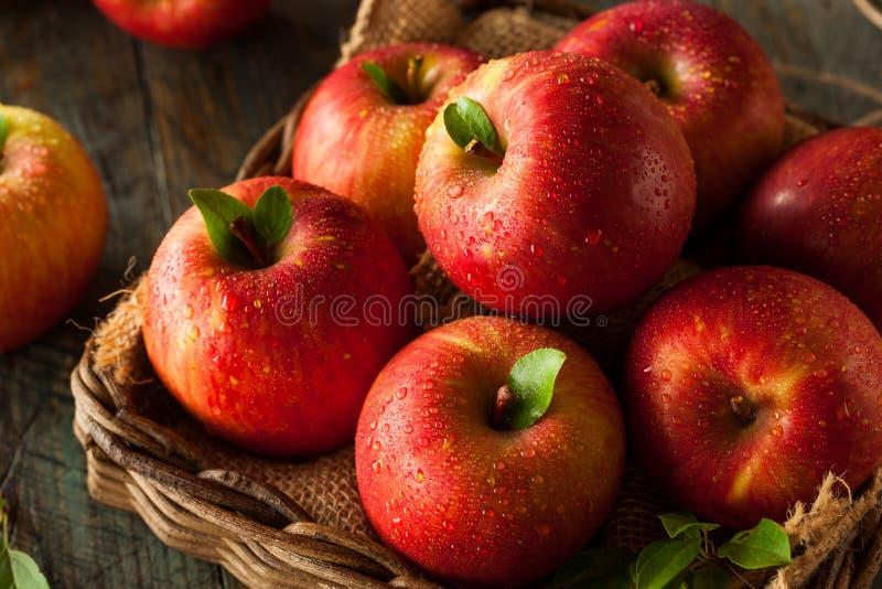 未加工的红色富士苹果 库存图片