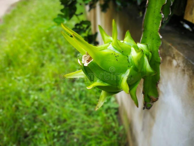 未加工的龙果子绿色成长和垂悬在树 免版税库存照片