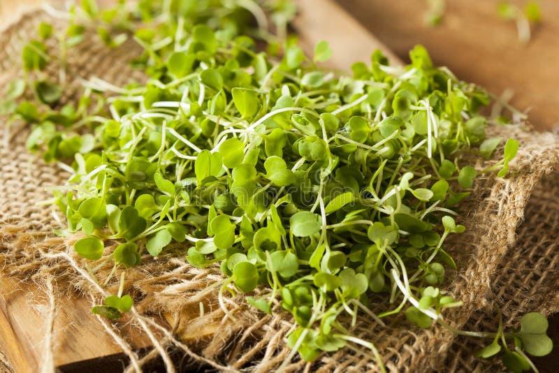 未加工的绿色芝麻菜Microgreens 免版税库存图片