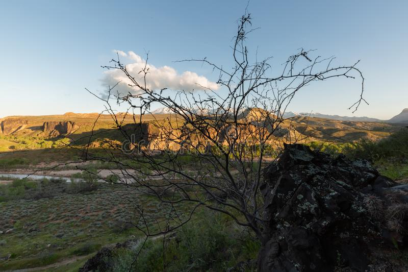 未开始投入新的叶子的豆科灌木树从玄武岩冰砾的基地在一个岩石山坡的增长 免版税图库摄影