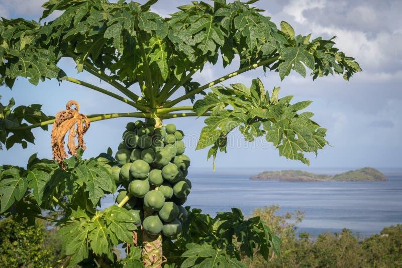 未成熟番木瓜果树栽培自然地在树梢 库存图片