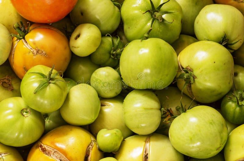 未成熟的庭院蕃茄 图库摄影