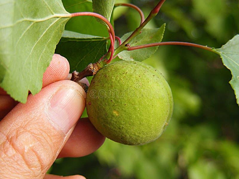 未成熟的杏子,未加工的杏子,非常酸未加工的杏子图片,几个杏子,杏树绿色未加工的杏子果子 免版税库存图片