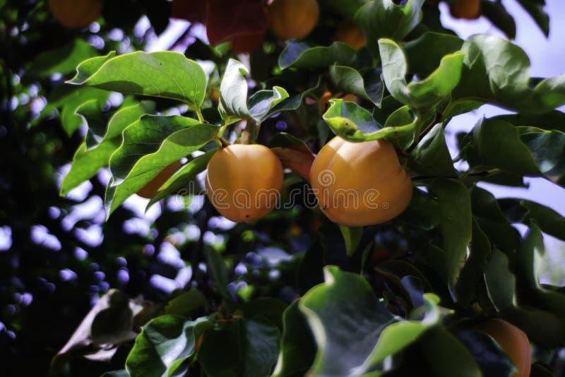 未成熟的柿子和新鲜的绿色叶子 库存照片