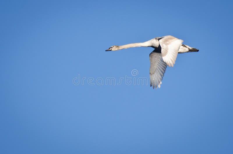 Download 未成熟的疣鼻天鹅 库存照片. 图片 包括有 相当, 少年, 盘旋, 脖子, 雏鸟, 典雅, 弯曲, 飞行 - 22353752
