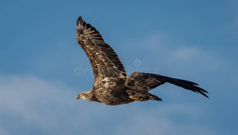 未成熟的白头鹰 免版税库存图片