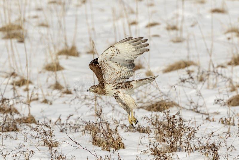 未成熟的红色被盯梢的鹰 库存图片