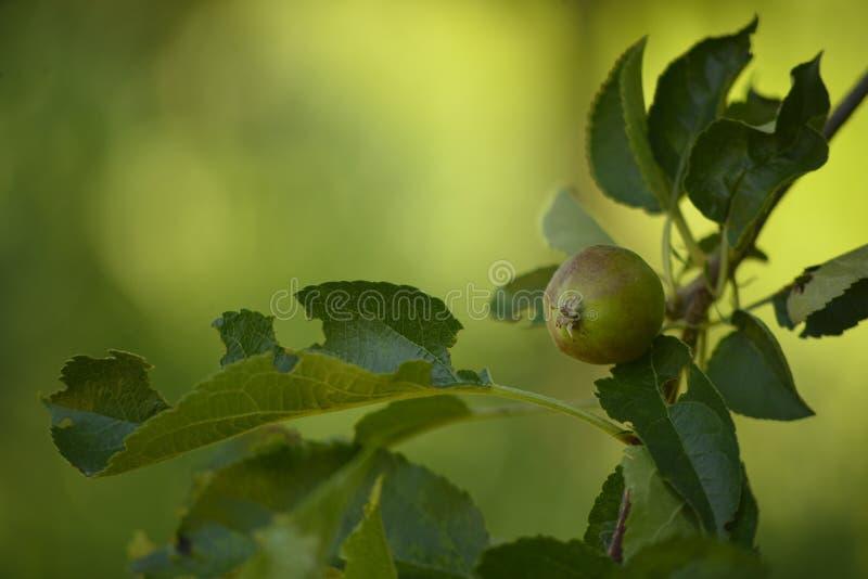 未成熟的苹果 免版税库存照片