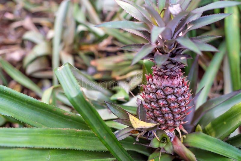 未成熟的菠萝特写镜头  库存图片