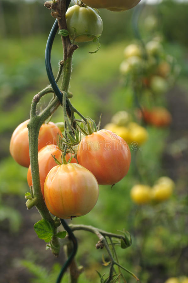 未成熟的蕃茄 免版税库存图片