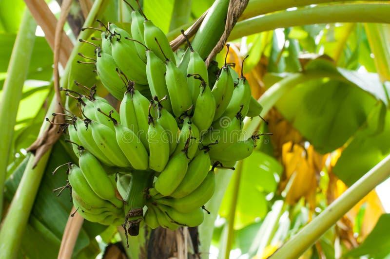 未成熟的香蕉在农场 免版税库存照片