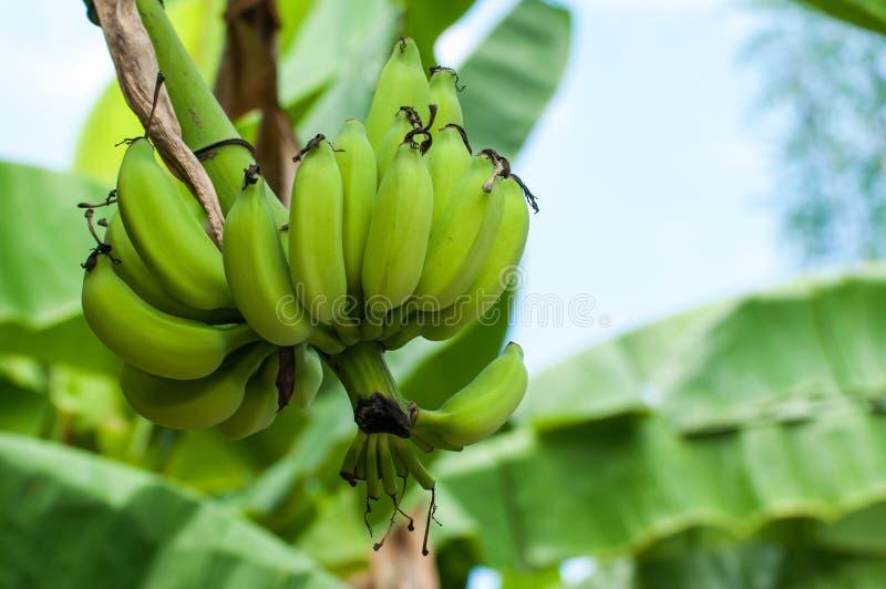 未成熟的香蕉在农场 免版税库存图片