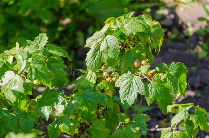 未成熟的黑醋栗灌木在庭院里 免版税库存图片