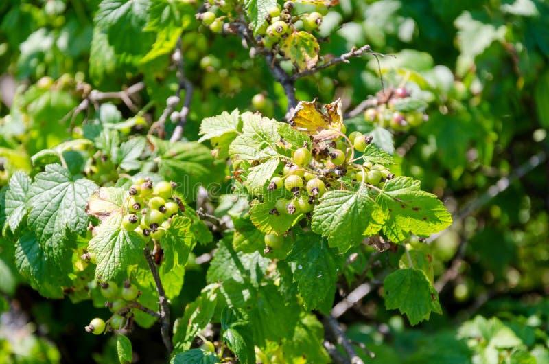 未成熟的黑醋栗灌木在庭院里 库存照片