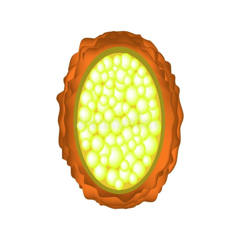 未施肥的蛔虫的鸡蛋 蛔虫鸡蛋结构  Infographics 在被隔绝的背景的传染媒介例证 皇族释放例证