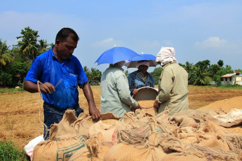 未认出的农夫做在他们的米领域的收获后的工作 免版税图库摄影