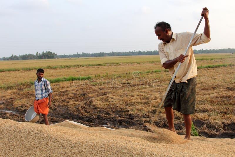 未认出的农夫参与在米领域的收获后的工作 库存图片