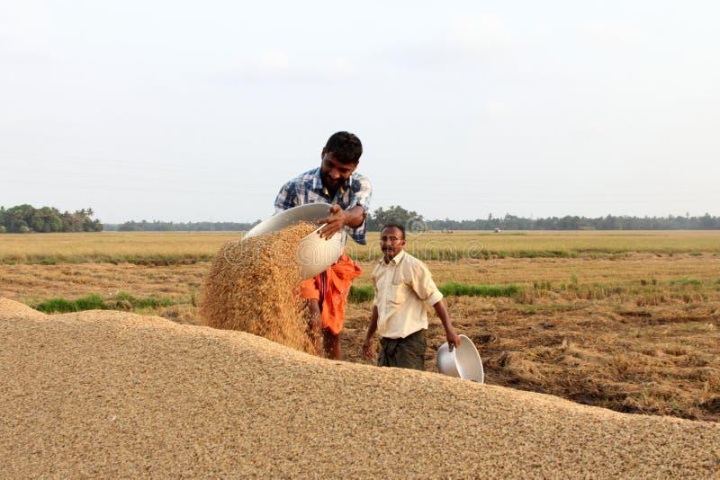 未认出的农夫参与在米领域的收获后的工作 库存照片