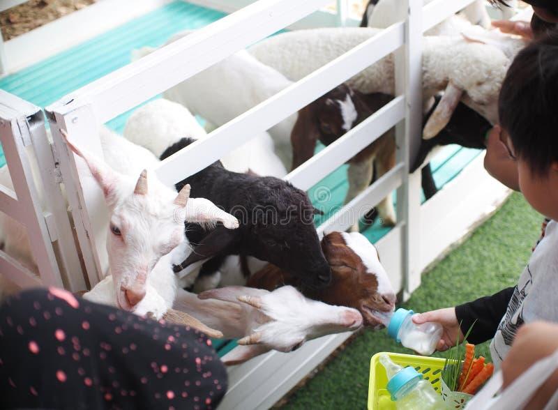未认出的孩子喂养幼小绵羊羊羔 免版税库存照片