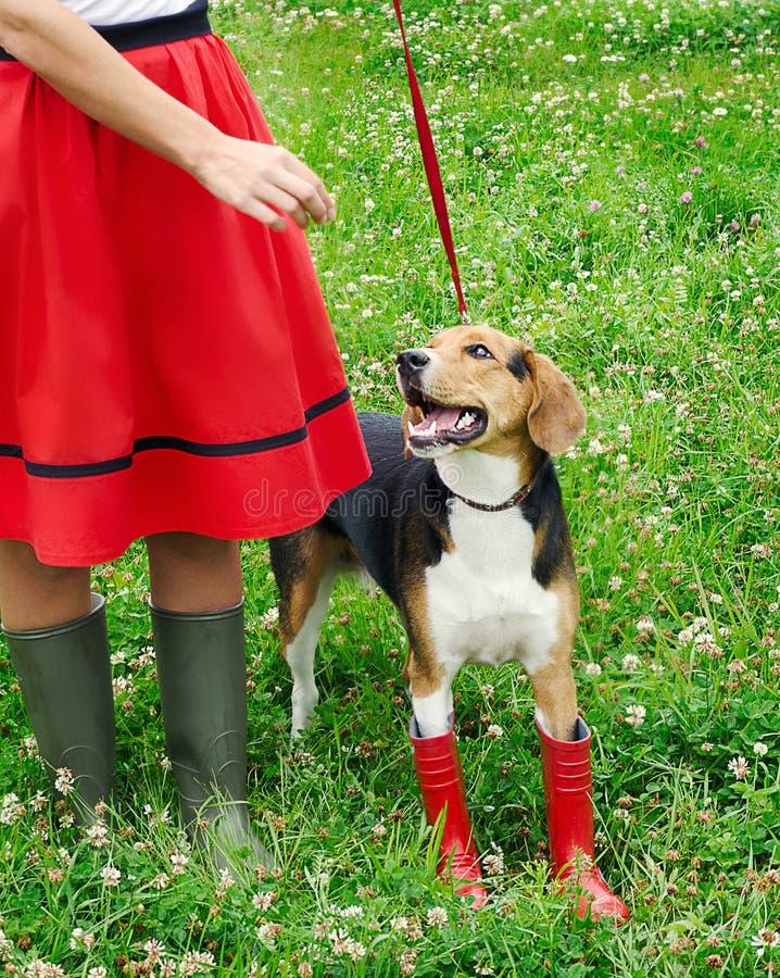 未过滤原始的解决方法被射击unsharpen的小猎犬格式高图象最大的小狗质量是妇女 免版税库存照片