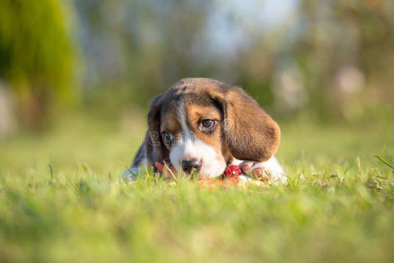 未过滤原始的解决方法被射击unsharpen的小猎犬格式高图象最大的小狗质量是 库存照片