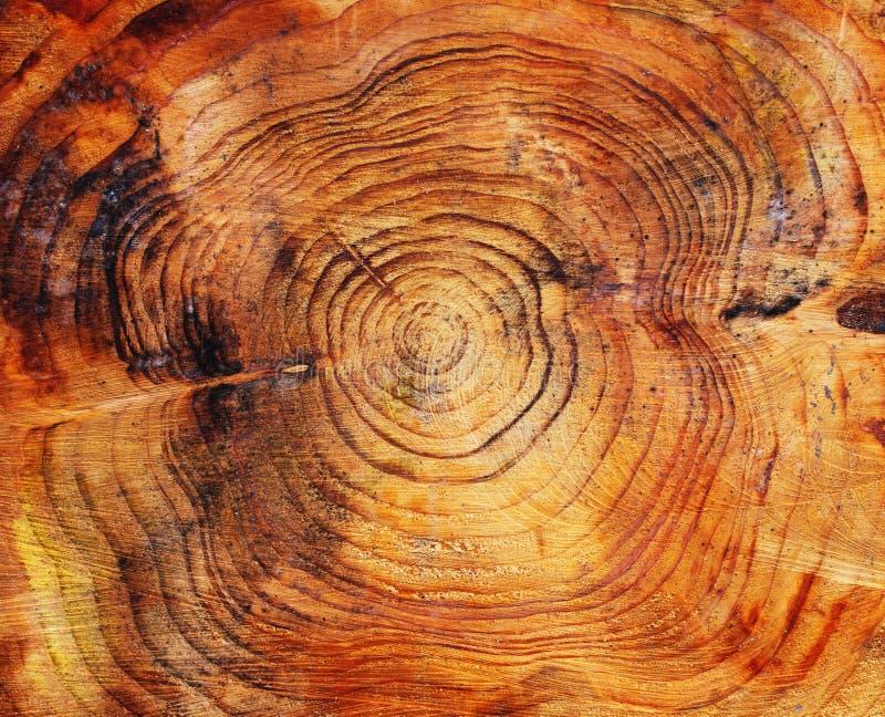末端杉木锯了结构树 免版税库存照片