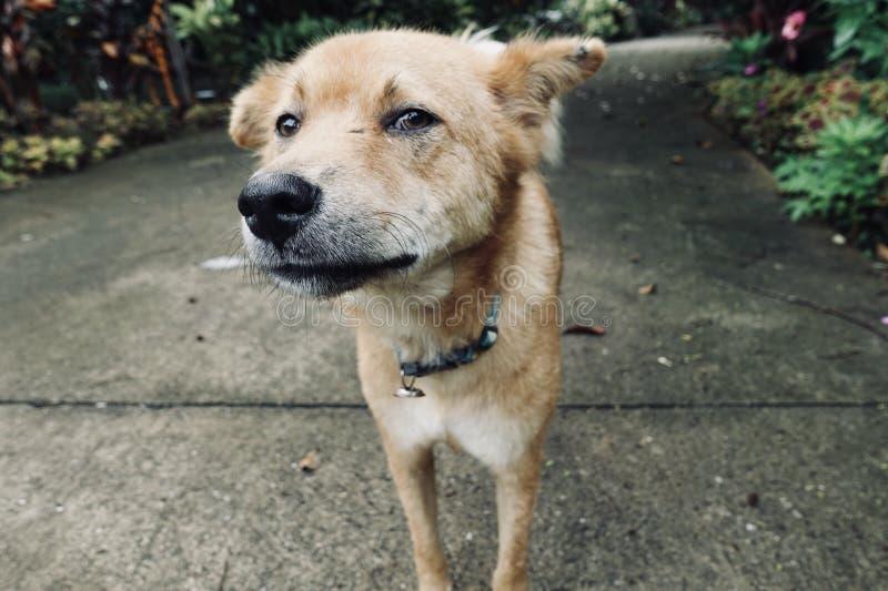 本地狗,机会,嗅与他完善的寒冷的照相机 免版税库存照片