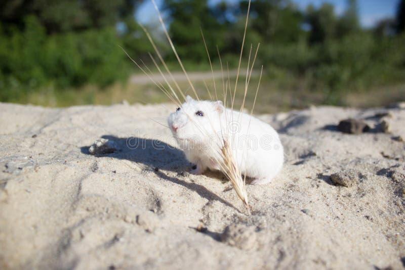 本质上,老鼠是一只dzhungar仓鼠 免版税库存图片