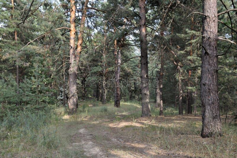 本质在夏天 森林 免版税库存照片